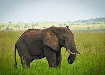 Kidepo Valley - olifant - Oeganda - foto: Apoka Lodge