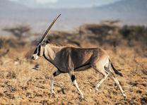 Ashnil Samburu Camp - oryx - Samburu Game Reserve - Kenia - foto: Ashnil Samburu Camp