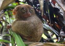 Bohol - spookdiertje Filipijnen - CTTO - Intas - foto: Intas