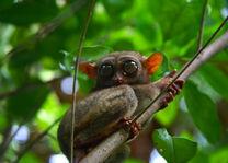 Bohol - spookdiertje - Filipijnen - CTTO - Intas - foto: Intas
