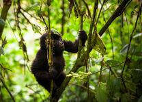 Bwindi Lodge - gorilla - Bwindi - Oeganda - foto: Bwindi Lodge