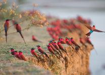 Carmine Bee eaters - South Luangwa - Zambia - foto: Time + Tide