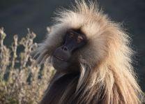 Ethiopië - gelada baviaan - Simien Mountains - foto: pixabay
