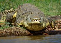 Ethiopië - krokodil - Omo Vallei - foto: Ethiopia Travel