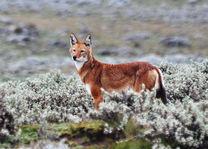 Ethiopische wolf - Bale Mountains - foto: Ethiopia Travel