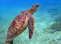 Filipijnen - Apo Island - schildpad - foto: flickr