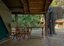 Flatdogs Camp - olifant bij tent - South Luangwa - Zambia - foto: Flat Dogs Camp