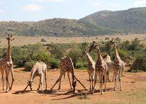 Giraffe - Pilanesberg National Park - Zuid-Afrika - foto: pixabay