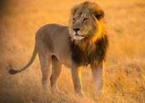 Goha Hills Savuti Lodge - leeuw in Botswana