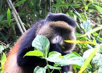 Golden Monkey - Volcanoes National Park - Rwanda - foto: flickr