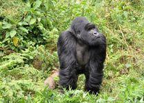 Gorilla - Volcanoes National Park - Rwanda - foto: pixabay