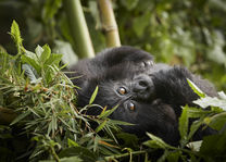Gorillas Volcanoes National Park - Rwanda - foto: OneOnly Gorillas Nest