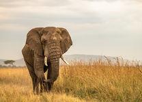 Governors Camp - olifant - Masai Mara - Kenia