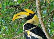 Hornbill vogel - Pangkor Laut Island - Maleisië - foto: unsplash