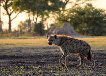 Hyena - Okavango Delta - Botswana - foto: Qorokwe Camp