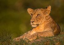 Ila Lodge - leeuw - Kafue National Park - Zambia - foto: Ila Lodge