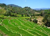 Indonesië - Flores - rijstvelden Bajawa - foto: Daniel de Gruiter
