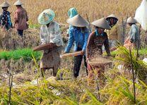 Indonesie - Sulawesi - werken in de rijstvelden