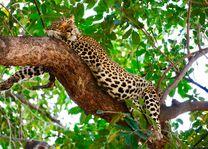 Kafunta River Lodge - luipaard - South Luangwa - Zambia - foto: Kafunta River Lodge