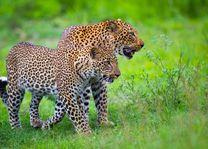 Kakuli Bush Camp - luipaarden - South Luangwa - Zambia