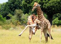 Kwando Lebala Camp - giraffe - Linyanti - Botswana - foto: Kwando Lebala Camp