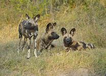 Kwando Lebala Camp - wilde honden - Linyanti - Botswana - foto: Kwando Lebala Camp