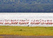 Lake Nakuru - flamingo's - Kenia - foto: pixabay