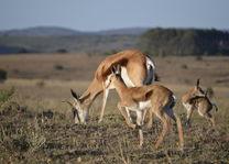 Lalibela Game Reserve - springbok - Zuid-Afrika - foto: Lalibela Tree Tops