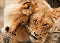Leeuwen - Zimbabwe - foto: pixabay