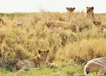 Leeuwen - Serengeti - Tanzania - foto: pixabay