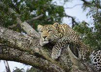 Luipaard - Kenia - foto: pixabay