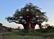 Mapungubwe National Park - baobab - Zuid-Afrika - foto: South African Tourism Board
