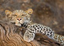 Mashatu Tented Camp - luipaard - Mashatu Game Reseve - Zuid-Afrika - foto: Mashatu Tented Camp