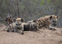 Hyena - Balule Game Reserve - Zuid-Afrika - foto: Mohlabetsi Safari Lodge