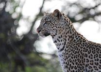 Luipaard  Balule Game Reserve - Zuid-Afrika - foto: Mohlabetsi Safari Lodge