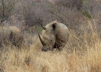 Neushoorn - Pilanesberg National Park - Zuid-Afrika - foto: pixabay