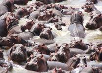 Nijlpaarden - South Luangwa - Zambia