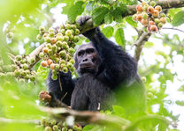 Nyungwe Forest - chimpanseetrekking - Rwanda - foto: Visit Rwanda