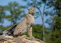 Okavango Delta - cheetah - Botswana - foto: DumaTau Camp
