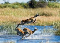Okavango Delta - antilope - Botswana - foto: DumaTau Camp