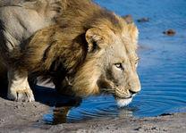 Okavango Delta - leeuw - Botswana - foto: DumaTau Camp