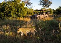 Okavango Delta - luipaard op safari - Botswana - foto: DumaTau Camp