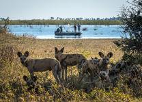 Okavango Delta - wilde honden - Botswana - foto: DumaTau Camp