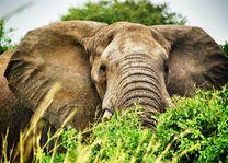 Olifant - Oeganda - foto: pixabay