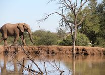 Olifant - Pilanesberg National Park - Zuid-Afrika - foto: pixabay