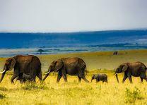 Olifanten - safari - Masai Mara - Kenia - foto: pixabay