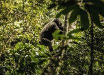 One&Only Nyungwe House - Chimpansee - Rwanda - foto: Nyungwe House
