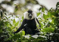 One&Only Nyungwe House - Colobus Monkey - Rwanda - foto: Nyungwe House