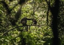 OneOnly Nyungwe House - chimpansees - Rwanda - foto: Nyungwe House