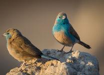 vogels - Etosha - Namibië - foto: Onguma Tented Camp